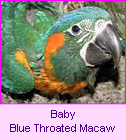 Baby Blue-throated macaw