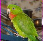 Bubs, Red Throated Conure