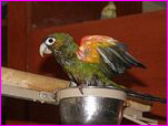 Caster, Fiery Shouldered Conure Loves Bathing