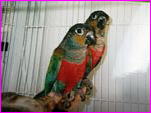 Crimson Bellied Conures Photo Courtesy of Jerrie Galliant