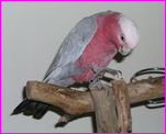 Georgie, Galah 'Too