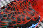 Crimson Rosella Feathers